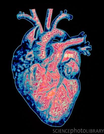 Anatomía y fisiología del corazón (resumen) / Manual de Cardiología ...